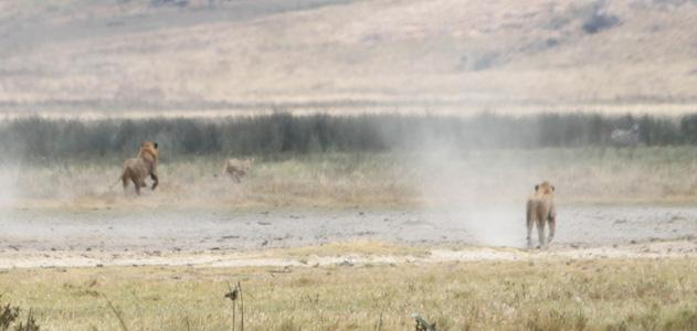 Safari photo de lions dans la savane